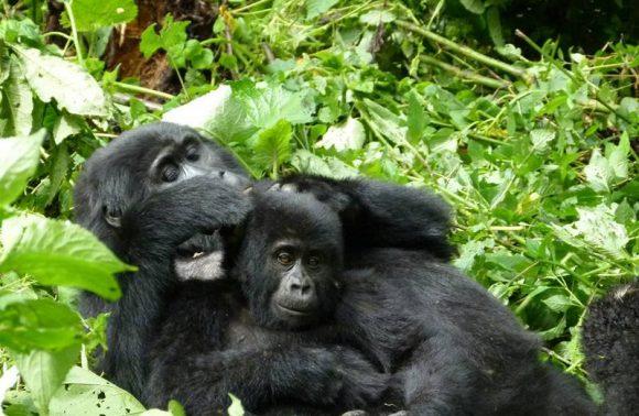 Wildlife and Gorilla Tracking Safari Uganda
